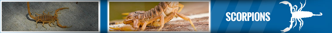 banner-scorpions